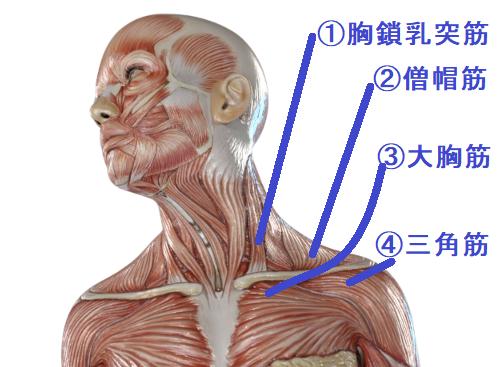 鎖骨に付着する筋肉