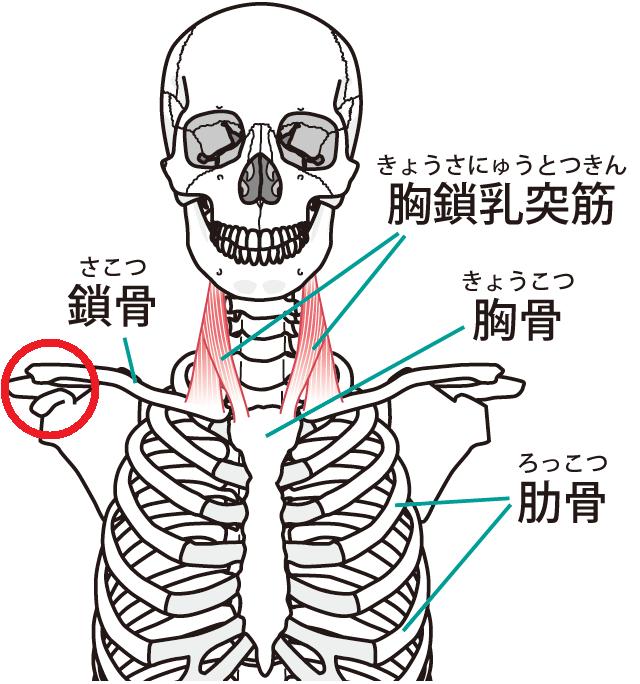鎖骨 胸鎖乳突筋